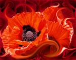 Poppies icon.jpg - 28802 Bytes